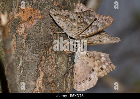 Hackberry emperadores, Asterocampa celtis, el flujo de savia en elm, Ulmus sp. Foto de stock