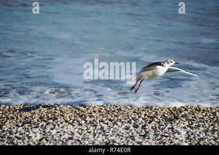 Bird por el mar Mediterráneo en Pebble Beach despegando