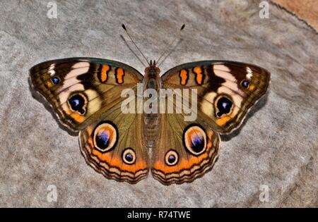 Buckeye común Junonia coenia (mariposas) en reposo en el suelo sobre un trozo de papel desechado con sus alas abiertas.