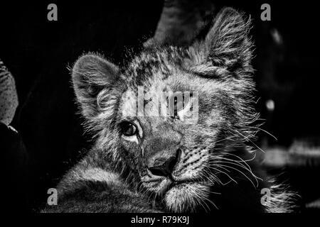 Un bello retrato de un bebé cachorro de león tener un descanso a la sombra en blanco y negro