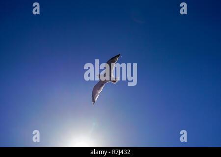 Gaviota en vuelo sobre un cielo azul de fondo. Fotografiado en la isla griega de Thasos, Grecia