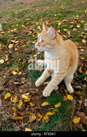 Juguetón gato amarillo jugando sobre la hierba entre las hojas amarillas