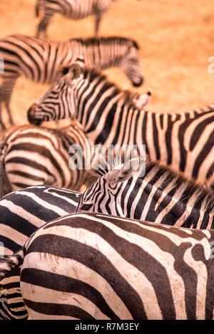 Close Up retrato de una cebra en el rebaño de cebras, con patrón de rayas blancas y negras. Escena de vida silvestre de la naturaleza en Savannah, África. Safari en Na Foto de stock