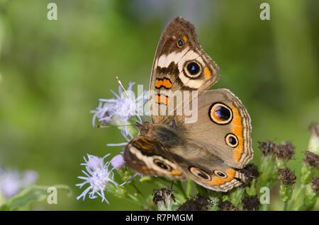 Buckeye, común Junonia coenia, en niebla, flor Conoclinium sp.