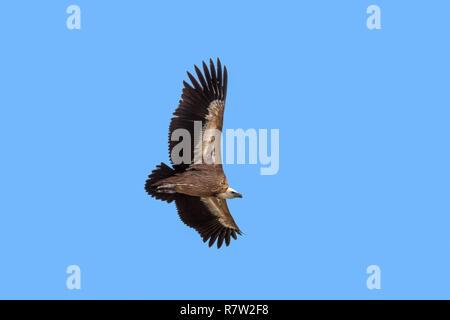 Buitre Leonado / Buitre (Gyps fulvus) en vuelo, elevándose contra el cielo azul