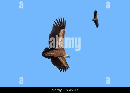 Dos buitres leonados / Buitre (Gyps fulvus) en vuelo, elevándose contra el cielo azul