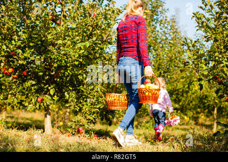 Mujer joven tiene cesta de manzanas. Concepto de cosecha. Foto de stock