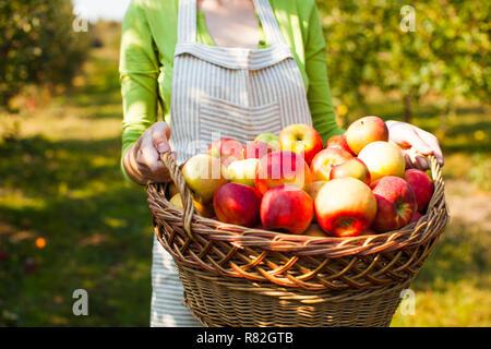Mujer joven sostiene una cesta con manzanas orgánicas Foto de stock