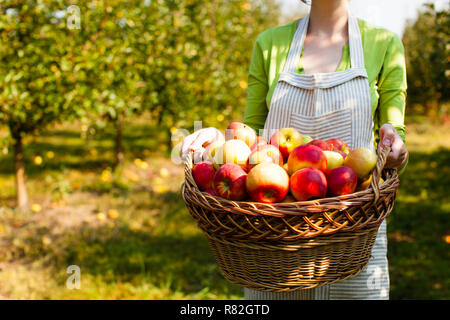 Mujer joven sostiene cesta tejida con manzanas Foto de stock