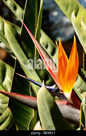 Flor Ave del paraíso fantástico -Strelitzia reginae -la inflorescencia horizontal naranja con sépalos y pétalos de color azul y blanco