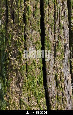 Cerca de las algas que crecen en el groynes de madera en la playa