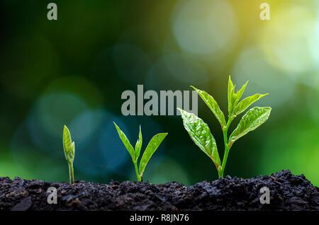Desarrollo de la siembra de las plántulas de crecimiento de plántulas de plantas jóvenes a la luz de la mañana sobre el fondo de la naturaleza