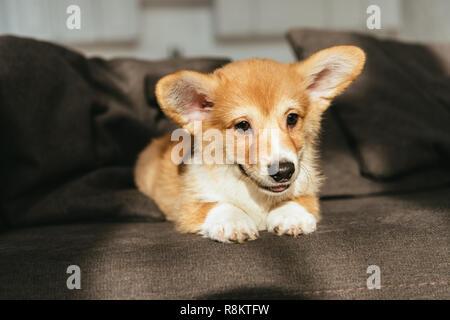 Lindo perrito Welsh Corgi sentado en un sofá en casa