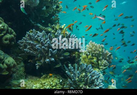Wunderschöne Korallenbänke am Roten Meer. Auch die sind wundervoll Fischschwärme