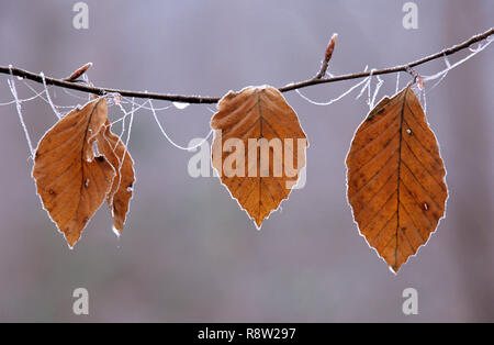 Lenga otoñal hojas en la rama helada, Inglaterra, Reino Unido.