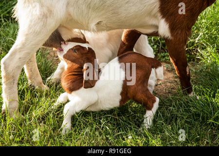 Lindo bebé de madre de enfermería de cabra cabra, Condado de Lancaster, Pennsylvania, EE.UU., FS 12,67 MB, lindo bebé animales de granja animales inusuales aislado