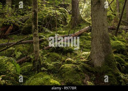 Bosque de musgo en Harskogen, Suecia