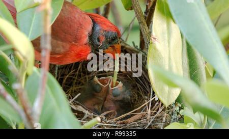 Muy macho rojo cardenal alimenta un gusano verde a dos de sus tres días de edad nacidos en el nido. Foto de stock