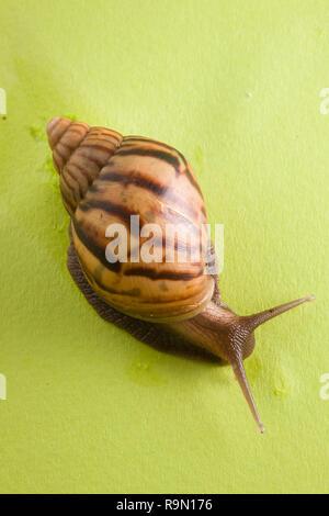 Un caracol en el fondo de color verde Foto de stock