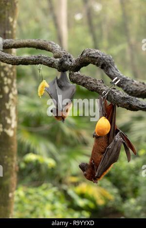 Gran flying fox malaya, Pteropus vampyrus, murciélagos colgando de una rama