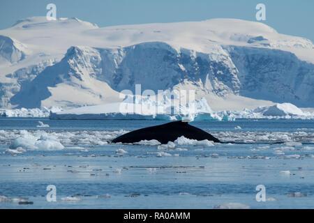 La Antártida, en la península Antártica, en el norte de Gerlache, Charlotte Bay. La ballena jorobada (Megaptera novaeangliae)