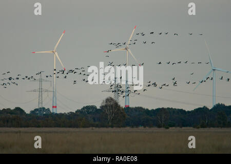 Grulla común (grus grus) gran rebaño vuelo y aterrizaje en frente de las turbinas eólicas, Hesse, Alemania