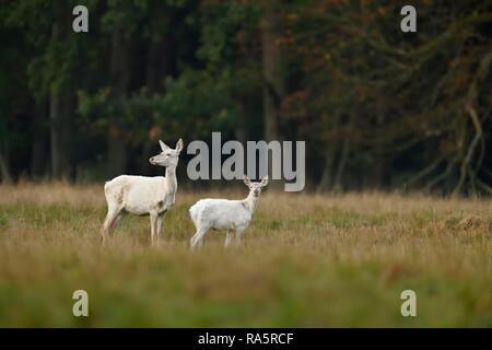 Ciervo rojo (Cervus elaphus), el venado vaca con el animal joven en bata blanca, Jägersborg, Dinamarca