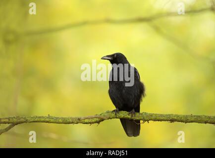 Close-up de una carroña Crow donde se posan en la rama de un árbol contra el fondo de colores, Reino Unido.
