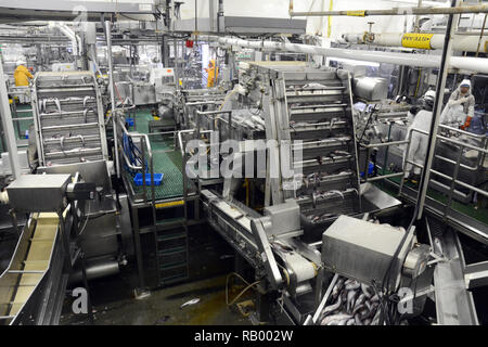 Los trabajadores y la fábrica de máquinas de procesamiento de pescado abadejo de Alaska entero en la planta de mariscos UniSea Dutch Harbor, Unalaska, Alaska, Estados Unidos.