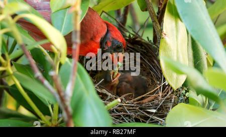 Un hombre pájaro Cardenal, alimenta un green caterpillar a su bebé en el nido. Foto de stock