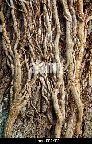 Viejos tallos leñosos de hiedra, Hedera helix, infestado de carcoma en un árbol de roble por un carril del país en Neatishead, Norfolk, Inglaterra, Reino Unido, Europa. Foto de stock