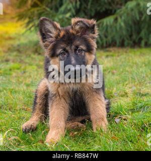 Un lindo perrito pastor alemán sentado fuera en el césped