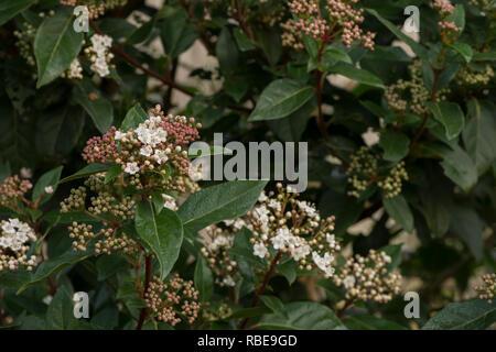 Floración de invierno viburnum arbusto con pequeñas delicado color rosado profundo se sonrojó brotes y flores blancas, Viburnum tinus, hojas de color verde profundo Foto de stock