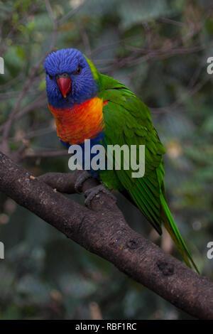 Una bonita foto de un arco iris (Trichoglossus moluccanus lorikeet) sentado en una rama