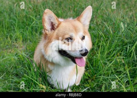 Cute pembroke Welsh Corgi cachorro con marcas blancas de cerca. Los animales de compañía.
