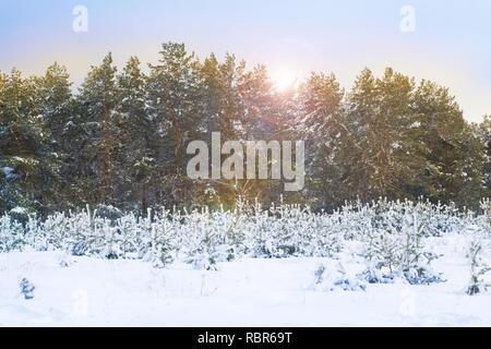 Los pinos cubiertos de nieve en la helada noche. Hermoso paisaje de bosque de invierno en la nieve