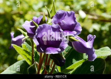 Flores de color púrpura, Violeta gloxinia gloxinia. Gloxinia flores decorativas.