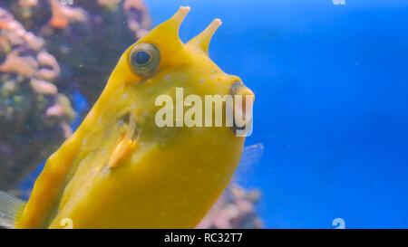 Primer plano de amarillo divertido pescar cerca de los corales en el acuario. Concepto de naturaleza y animales