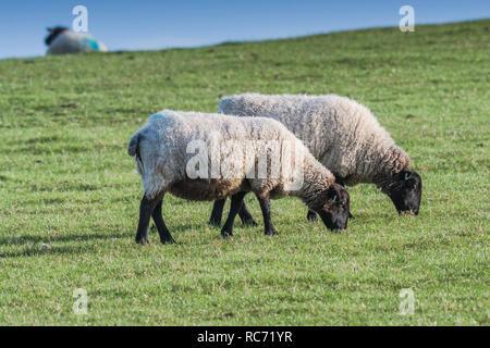 De cara negra ovejas Ovis aries el pastoreo en un campo.