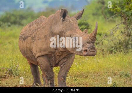 Un lindo macho bull White Rhino en el Parque Nacional Kruger