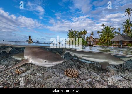 Blacktip tiburones de arrecife de coral y delante de una isla tropical con palmeras y cabañas
