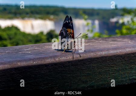 La belleza Blomfild butterfly (Esmirna blomfildia) con las cataratas del Iguazú en el fondo Foto de stock