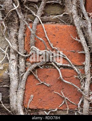 Close-up de tallos de hiedra seca en una pared de ladrillo rojo y piedra