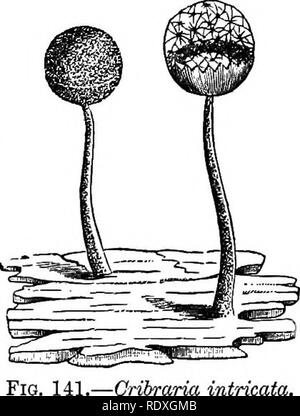 . Introducción al estudio de los hongos; su organography, clasificación y distribución, para el uso de colectores. Los hongos. Limo-HONGOS MYXOMYCETES 313 clasificación que ha sido adoptado por estos organismos singulares, los caracteres que se derivan de la condición reproductiva y final. La primera de las cuatro órdenes, en que todo el grupo se subdivide, es el Peritrichiaceae, en la cual la pared de los esporangios no está incrustada con cal, y la capillitium está ausente o formado a partir de la pared de los esporangios. Este nuevo orden es subdividido en dos subórdenes de