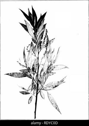 . Árboles de Indiana. Los árboles. Placa 42 13. SALIX FRAGILIS Linnaeus. Mimbreras, (x >2-). Por favor tenga en cuenta que estas imágenes son extraídas de la página escaneada imágenes que podrían haber sido mejoradas digitalmente para mejorar la legibilidad, la coloración y el aspecto de estas ilustraciones pueden no parecerse perfectamente a la obra original. Deam, Charles Clemon, 1865-1953. Fort Wayne, Indiana , Fort Wayne Printing Co.