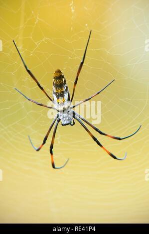 Golden orb-web (araña Nephila madagascariensis), Madagascar, África