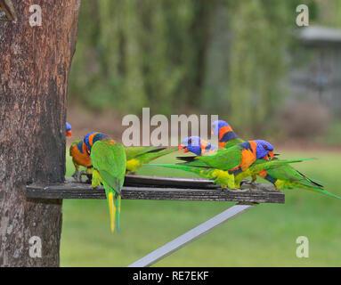 Rainbow Lorikeets (Trichoglossus haematodus) en el Batchelor Holiday Park, Rum Jungle Road, Batchelor, Litchfield National Park, N.T, Australia