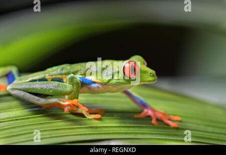 La rana arborícola de ojos rojos (Agalychnis callidryas) sobre una hoja, Alajuela, Costa Rica