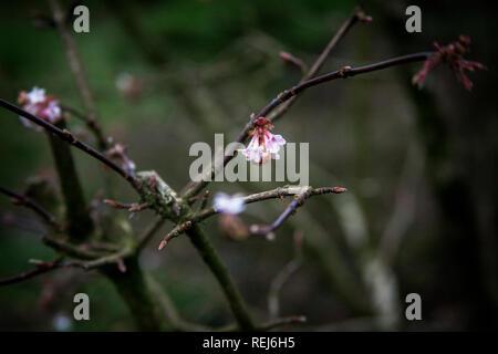 Los cerezos en flor en la rama de apertura,