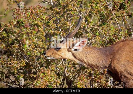 El Bushbuck, Imbabala, hombres adultos, el Parque Nacional Kruger, Sudáfrica, África (Tragelaphus sylvaticus)